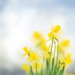 spring daffodils in  garden