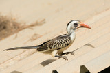 Young Western Red-Billed Hornbill