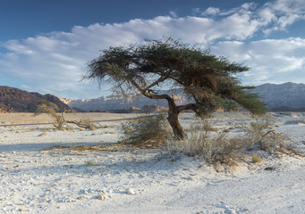 Lonely tree in geological Timna park