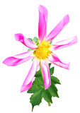 Pink dahlia flower with folded petals