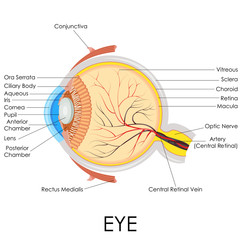 vector illustration of diagram of human eye anatomy