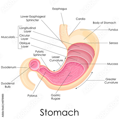 vector illustration of diagram of human stomach anatomy