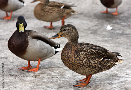 Female and Mallard Duck. Closeup of a drake, standing in the