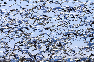 Hundreds Snow Geese Taking Off Flying Washington