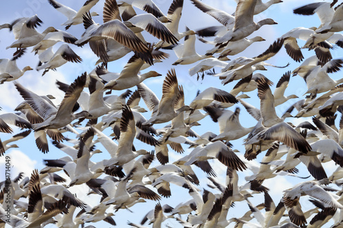 Hundreds Snow Geese Flying Washington