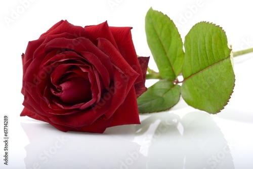 Rose rouge de profile