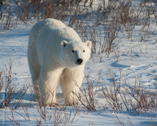 Tuinposter Ijsbeer Large female polar bear