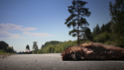 Two family cars passed by dead animal Raccoon dog body