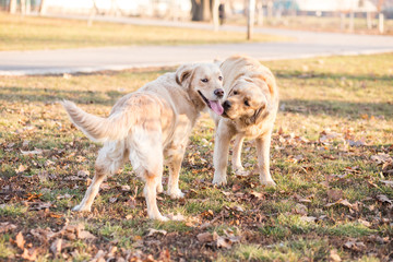Two golden retrievers playing outdoor