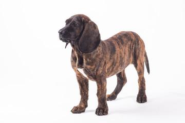 Bavarian mountain hound