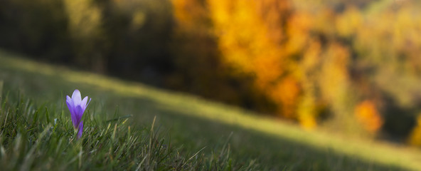 Wild crocuses in the mountains, profiled on autumn foliage