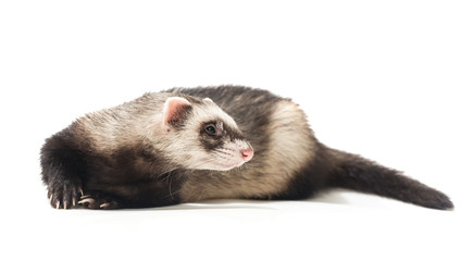 Polecat on a white background