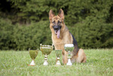 German Sheepdog with cups
