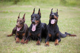 three dobermans are laying on grass