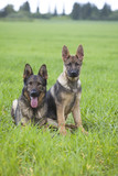 German shepherd`s puppys