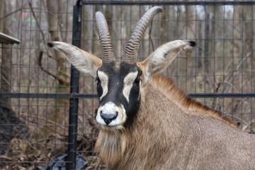 Roan antelope (Hippotragus equinus) head