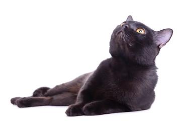 adult black cat