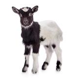 farm animal goat isolated - Fine Art prints