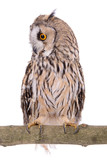 bird owl isolated