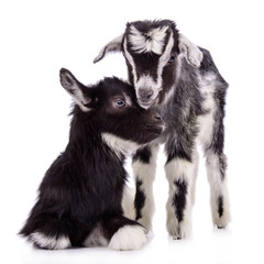 farm animal goats isolated