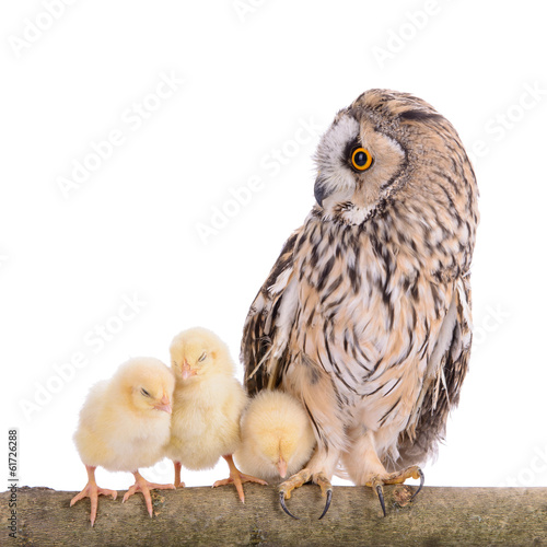 owl with newborn chickens