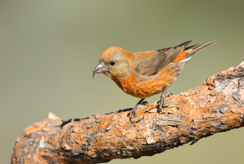Red Crossbill, Male. Oregon