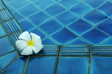 white plumeria flower on pool