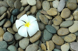whiet plumeria flower on rock texture
