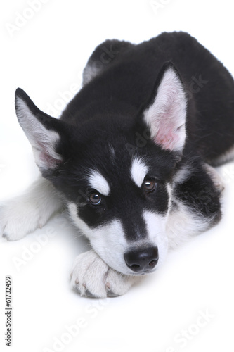 Alaskan Malamute Puppy on White Background in Studio