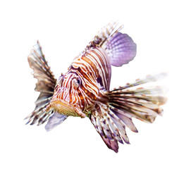 venomous fish over white background