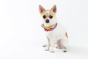 Chihuahua Yellow Collar thailand