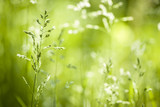 Fototapety June green grass flowering