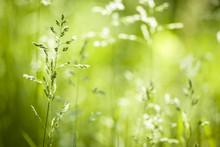 Czerwiec kwitnąca trawa zielona