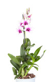 Dendrobium phalaenopsis orchid  on white  background