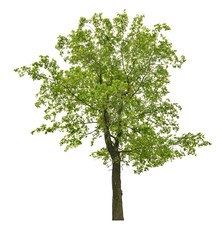 summer dark green isolated linden tree