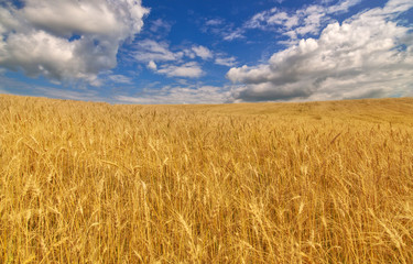 golden wheat field under blue sky and clouds