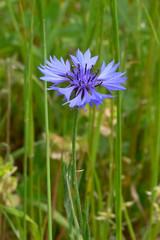 fiordaliso (Centaurea cyanus)