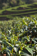 Green Tea leaf in the field