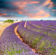 Wonderful sunset over lavender fields