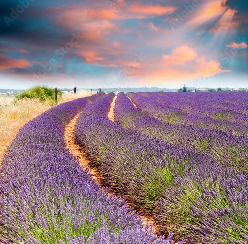 Wonderful sunset over lavender fields