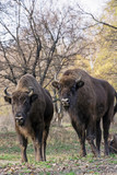 Group of wild European bison (Bison bonasus) in autumn deciduous