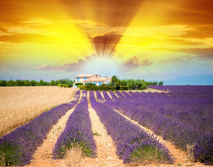 Plateau de Valensole and rows of lavender flowers