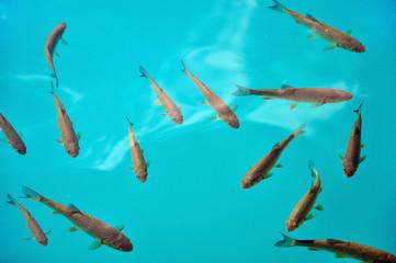 Fish in turquoise lake water. Plitvice, Croatia