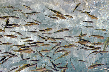 Fish in clear water. Plitvice, Croatia