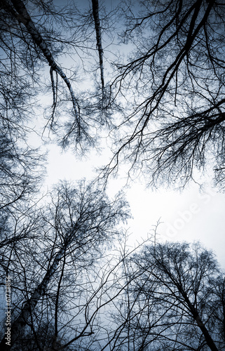 Panel Szklany Looking up on leafless birch trees in the forest
