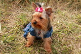 Yorkshire Terrier Aira