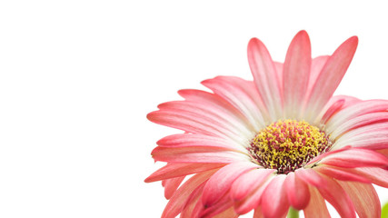 Beautiful fresh pink Gerbera flower