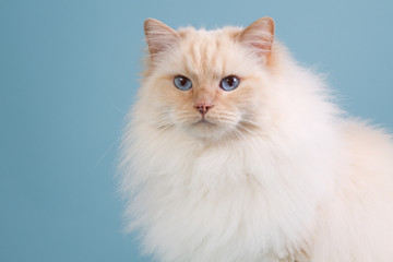 Ragdoll cat in winter fur