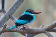 Blue-Breasted Kingfisher (Halcyon malimbica)