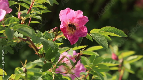 Bee on a flower in summer day